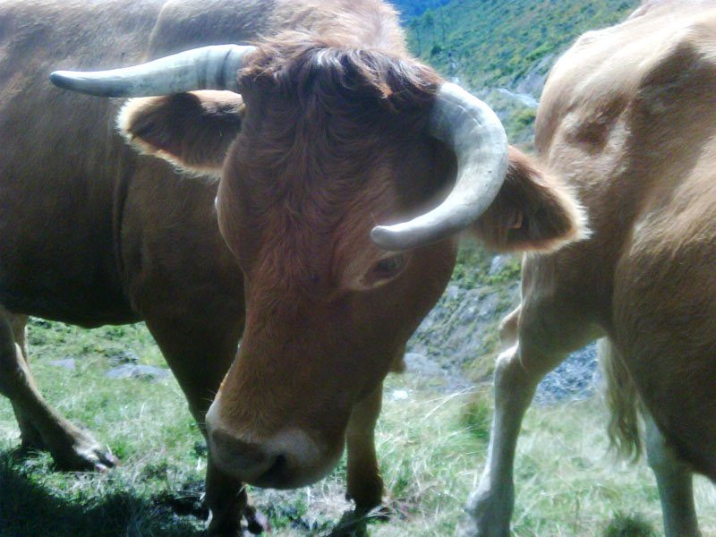 The local cattle don't like interlopers on the Pyrenees trail!