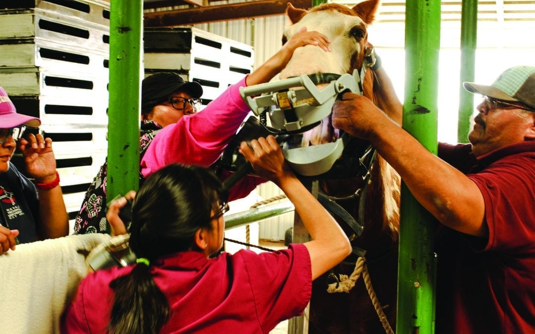 Dr. Germaine Daye works with students Jenneth Begay and Celestina Salt and technician Royce Craig in examining a horse's teeth at the NTU Vet Teaching Hospital's barn.